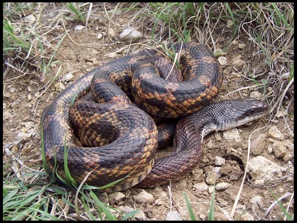 rat snake texas images - photo #8
